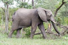 Слон идя за поврежденными и сломленными деревьями в парке стоковые изображения