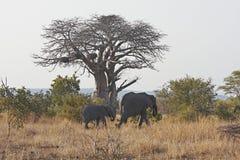 слон икры баобаба за гулять вала Стоковое фото RF