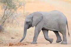 слон икры Стоковое Изображение RF