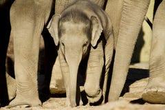 слон икры Стоковое Изображение
