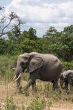 Слон и слон младенца в саванне masai Кении mara Стоковые Изображения RF