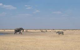 Слон и черный носорог стоковые изображения rf