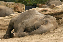 Слон кладя на том основании и смотря вас стоковое изображение rf