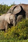 слон коровы икры Стоковое Изображение