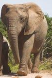 слон коровы Стоковая Фотография