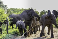 Слон куста матери африканский в табуне получает агрессивным стоковое фото rf