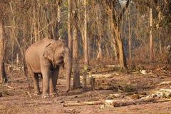 слон Лаос одичалый Стоковые Изображения RF