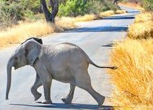 Слон младенца африканский, национальный парк Kruger стоковые фотографии rf