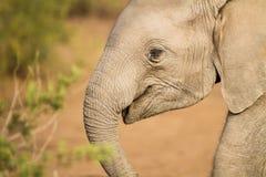 Слон младенца африканский Стоковое фото RF