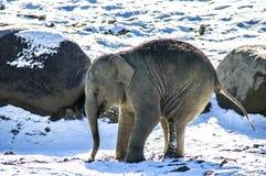 Слон младенца в снеге Стоковое фото RF