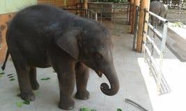 Слон младенца в Шри-Ланке Стоковые Изображения RF