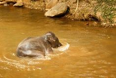 Слон младенца купая в реке - Таиланде Стоковые Изображения