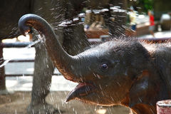 слон младенца наслаждается водой Стоковое фото RF