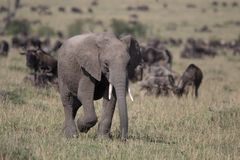 Слон младенца на Mara Стоковое Изображение RF
