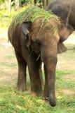 Слон младенца положил траву на голову Стоковые Изображения RF