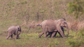 Слон младенца после за родителями Стоковые Изображения