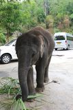 Слон младенца прикованный для того чтобы получить деньги от туристов Стоковые Изображения