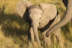 слон младенца Стоковые Изображения