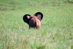 слон младенца Стоковая Фотография