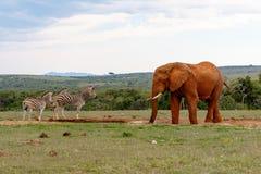 Слон наблюдая зебр Стоковые Изображения