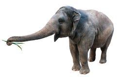 Слон на белой предпосылке Стоковые Фотографии RF