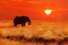 Слон на заходе солнца в национальном парке Serengeti вышесказанного Танзания стоковое изображение