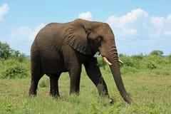 Слон на национальном парке Южно-Африканская РеспублЍ Kruger Стоковые Изображения