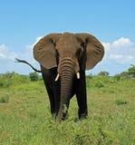 Слон на национальном парке Южно-Африканская РеспублЍ Kruger стоковые фотографии rf