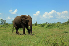 Слон на национальном парке Южно-Африканская РеспублЍ Kruger Стоковая Фотография