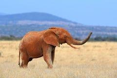 Слон на саванне в Африке стоковые фото