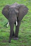 Слон на сафари, Африка, Замбия Стоковые Фото