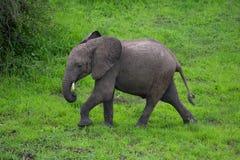 Слон на сафари, Африка, Замбия Стоковое фото RF