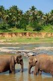 Слон на Шри-Ланка стоковые фото