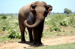 слон одичалый Стоковые Изображения