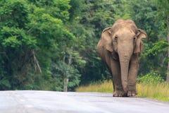 слон одичалый Стоковые Фото