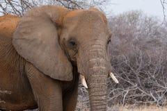 Слон пакостный с красной пылью Стоковая Фотография RF