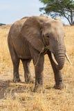 Слон пася Стоковые Изображения RF