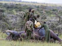 Слон поврежденный poachers, получая обработку для того чтобы извлечь выстрел стоковые фотографии rf