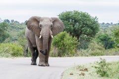 Слон приходя вокруг загиба в парке стоковые фото