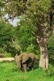 слон смотря тень Стоковая Фотография RF