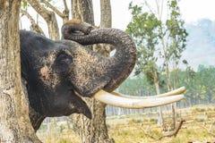 Слон - со свернутый вверх по хоботу и длинному бивню стоковое изображение rf