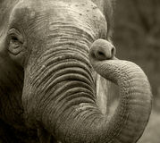 слон старый Стоковые Изображения