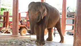 Слон видеоматериал
