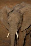 Слон Стоковое Изображение