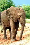 слон Стоковые Фото