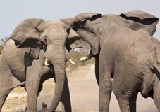 Слон (africana) Loxodonta - Намибия Стоковое фото RF