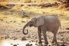 Слон Bably выпивая на водопое Стоковое Изображение RF