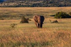 Слон Bull широкое Savanah Стоковые Изображения