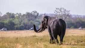 Слон Sri Lankan есть траву Стоковое Фото