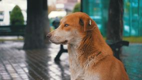 Случайная красная собака сидит на улице города в дожде на фоне проходить автомобили и людей сток-видео